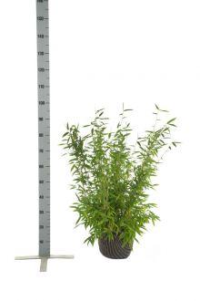 Fargesia murielae 'Jumbo' En motte 60-80 cm