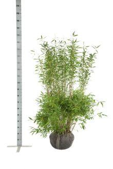 Fargesia murielae 'Jumbo' En motte 125-150 cm