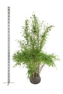 Fargesia murielae 'Jumbo' En motte 175-200 cm