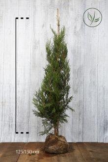 Cyprès de Leyland (vert) En motte 125-150 cm