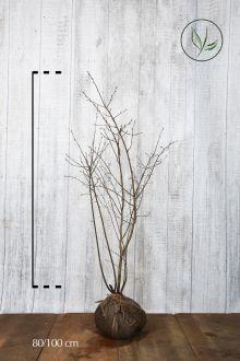 Amélanchier de Lamarck En motte 80-100 cm