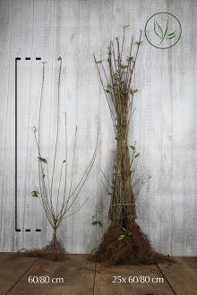 Troène commun 'Atrovirens'  Racines nues 60-80 cm