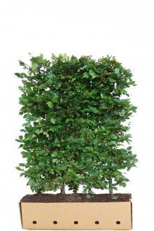 Hêtre commun, Hêtre vert  Haies prêtes à planter 150 cm Prêts à planter