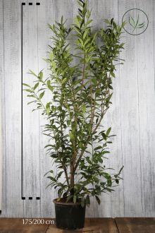 Laurier palme 'Caucasica' Conteneur 175-200 cm Qualité extra