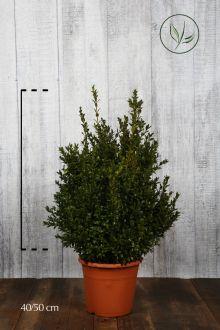 Buis - Arbustes Conteneur 40-50 cm