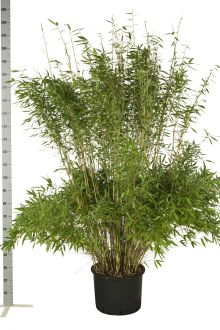 Fargesia murielae 'Jumbo' Conteneur 175-200 cm