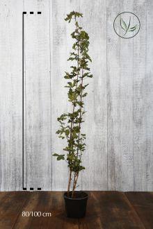 Erable champêtre  Conteneur 80-100 cm
