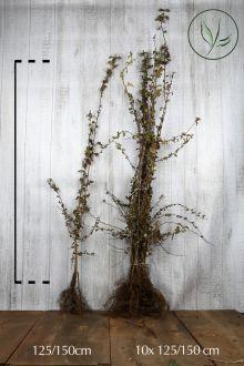 Aubépine monogyne Racines nues 125-150 cm