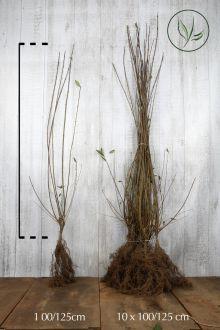 Troène Champêtre, Troène d'Europe  Racines nues 100-125 cm