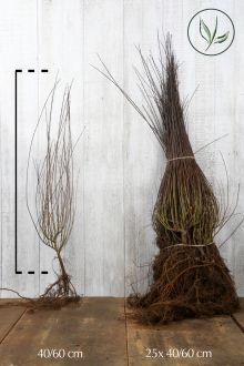 Saule pourpre 'Nana' Racines nues 40-60 cm