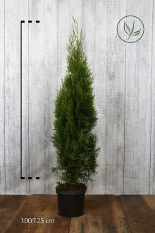 Thuya du Canada 'Smaragd'  Conteneur 100-125 cm Qualité extra