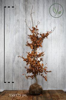 Hêtre commun, Hêtre vert  En motte 150-175 cm Qualité extra