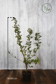 Erable champêtre  Conteneur 60-80 cm