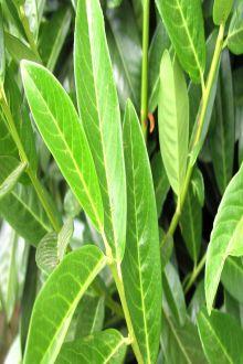 Laurier cerise 'Genolia'® Racines nues 40-60 cm