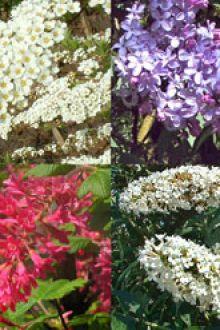 Haie pour papillons et racines nues 30-60 cm
