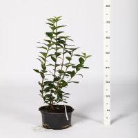 Troène vert, Troène de Californie  Conteneur 40-60 cm
