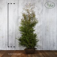 Thuya du Canada 'Brabant' En motte 125-150 cm Qualité extra