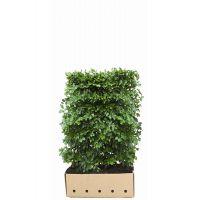 Hêtre commun, Hêtre vert  Haies prêtes à planter 120 cm Prêts à planter