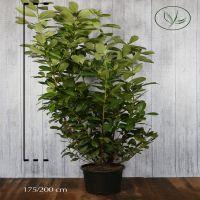 Laurier cerise 'Rotundifolia' Conteneur 175-200 cm