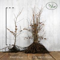Charme commun  Racines nues 100-125 cm Qualité extra