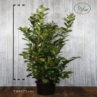 Laurier cerise 'Rotundifolia' Conteneur 150-175 cm