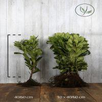 Laurier palme 'Novita'  Racines nues 40-60 cm Qualité extra