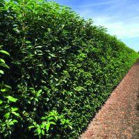 Laurier du Portugal 'Angustifolia'  Haies prêtes à planter 160-170 cm Prêts à planter