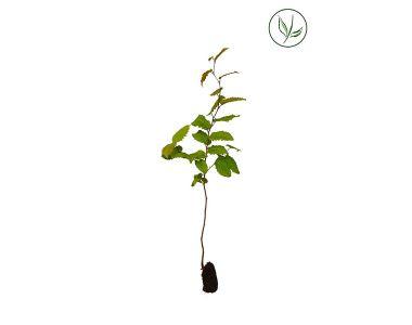 Charme commun  Plantes cultivées en cellules 20-40 cm Qualité extra