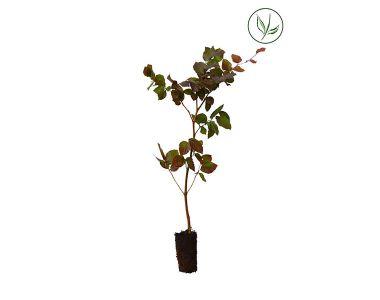 Hêtre pourpre  Plantes cultivées en cellules 30-50 cm Qualité extra