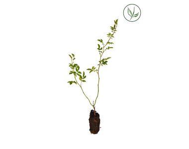 Rosier des chiens Plantes cultivées en cellules 15-30 cm Qualité extra