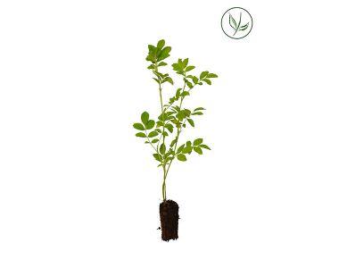Rosier Rugueux Plantes cultivées en cellules 20-40 cm Qualité extra