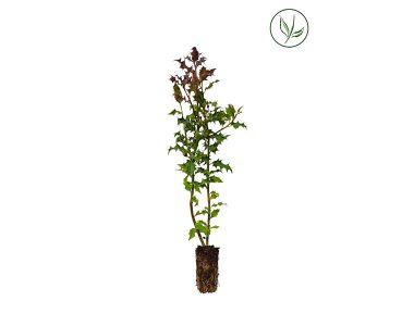Houx commun Plantes cultivées en cellules 30-50 cm Qualité extra