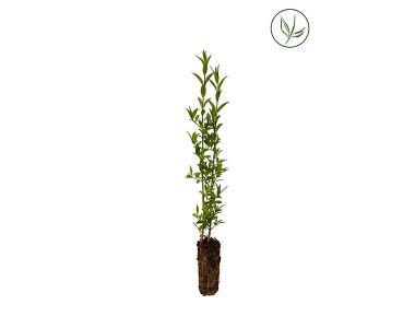 Troène Champêtre, Troène d'Europe  Plantes cultivées en cellules 15-30 cm Qualité extra
