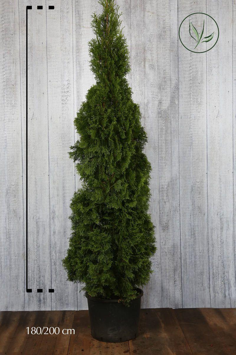 Thuya du Canada 'Smaragd'  Conteneur 180-200 cm Qualité extra