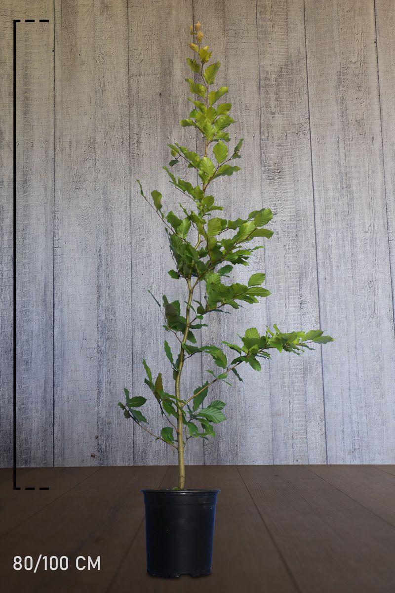 Hêtre commun, Hêtre vert  Conteneur 80-100 cm