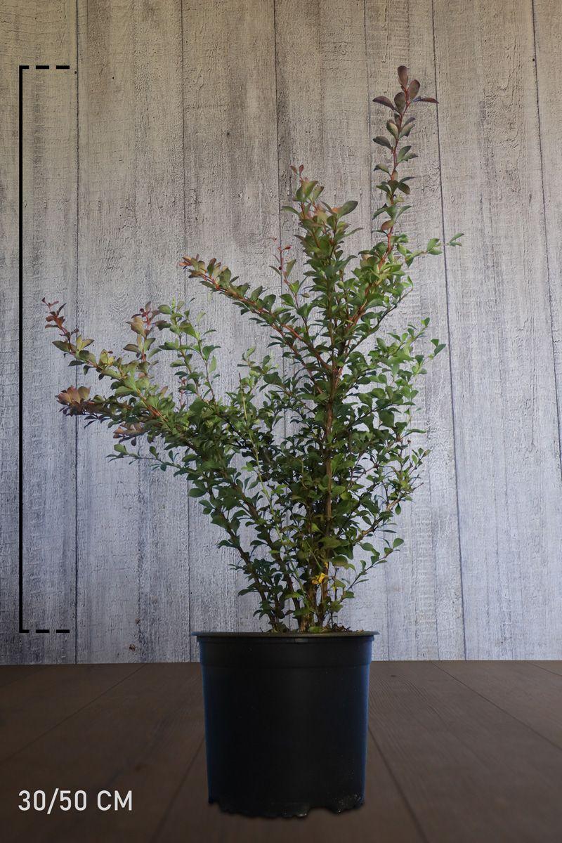 Épine-vinette de Thunberg pourpre Conteneur 30-50 cm