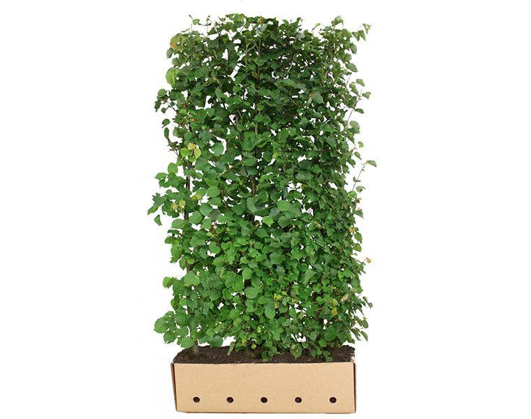 Tilleul à petites feuilles (Tilia cordata) Haies prêtes à planter 200 cm Qualité extra