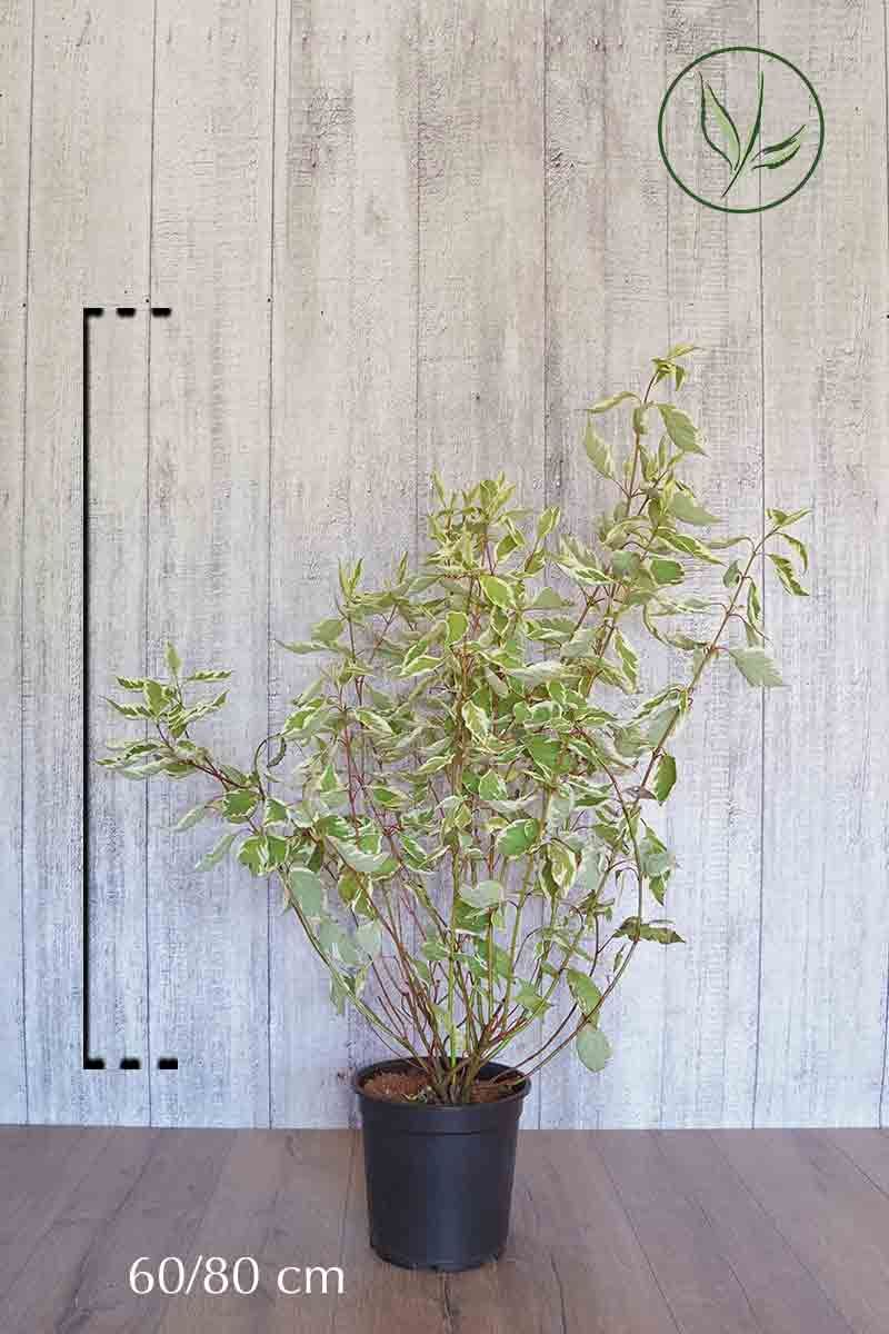 Cornouiller blanc 'Elegantissima'  Conteneur 60-80 cm