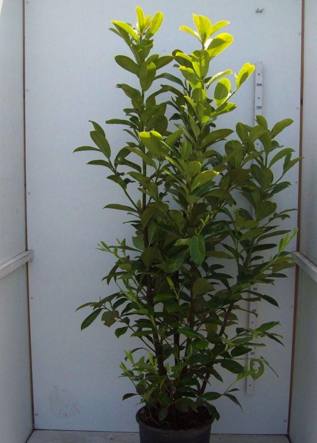 Laurier palme 'Novita'  Conteneur 150-175 cm
