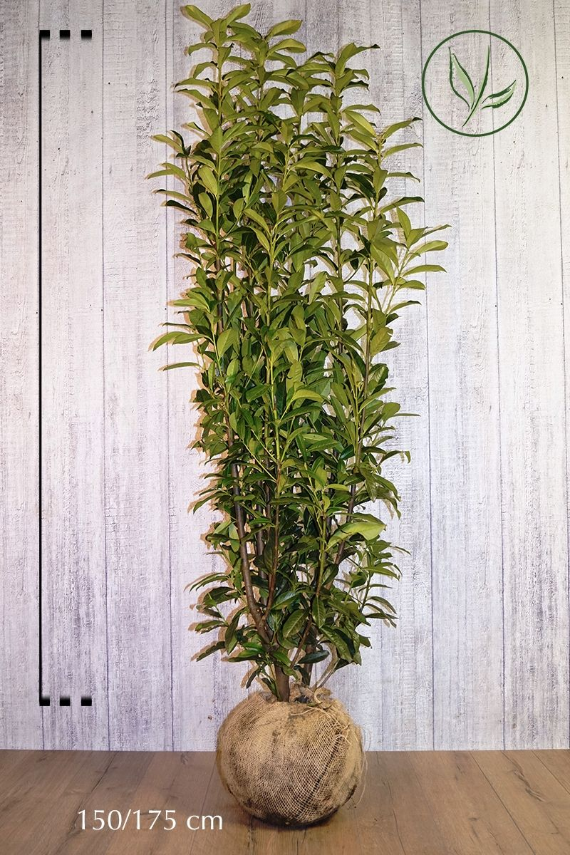 Laurier cerise 'Genolia'® En motte 150-175 cm Qualité extra