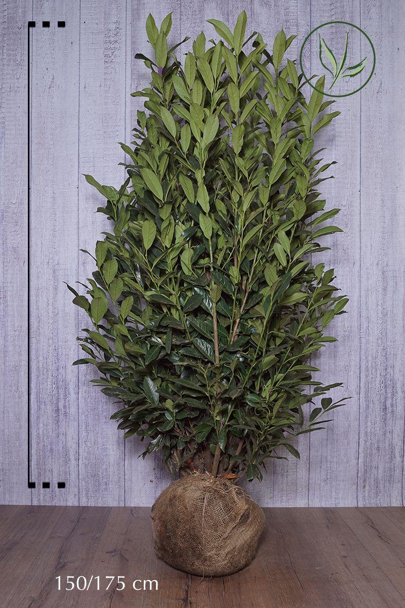 Laurier palme 'Elly'® En motte 150-175 cm