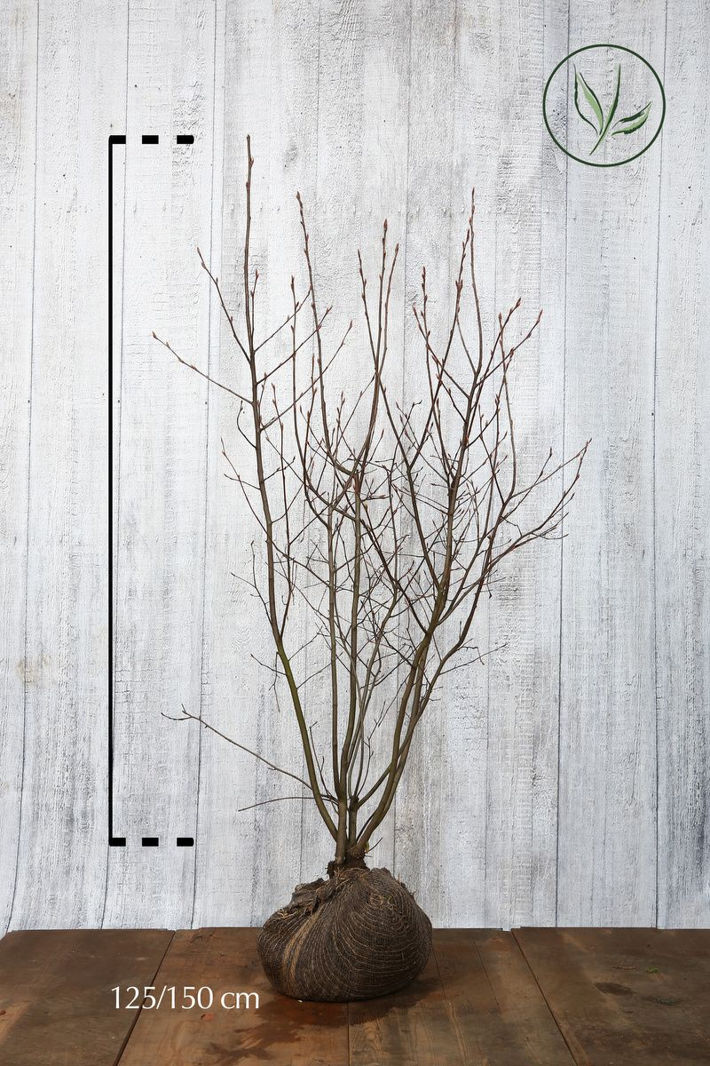 Amélanchier de Lamarck En motte 125-150 cm