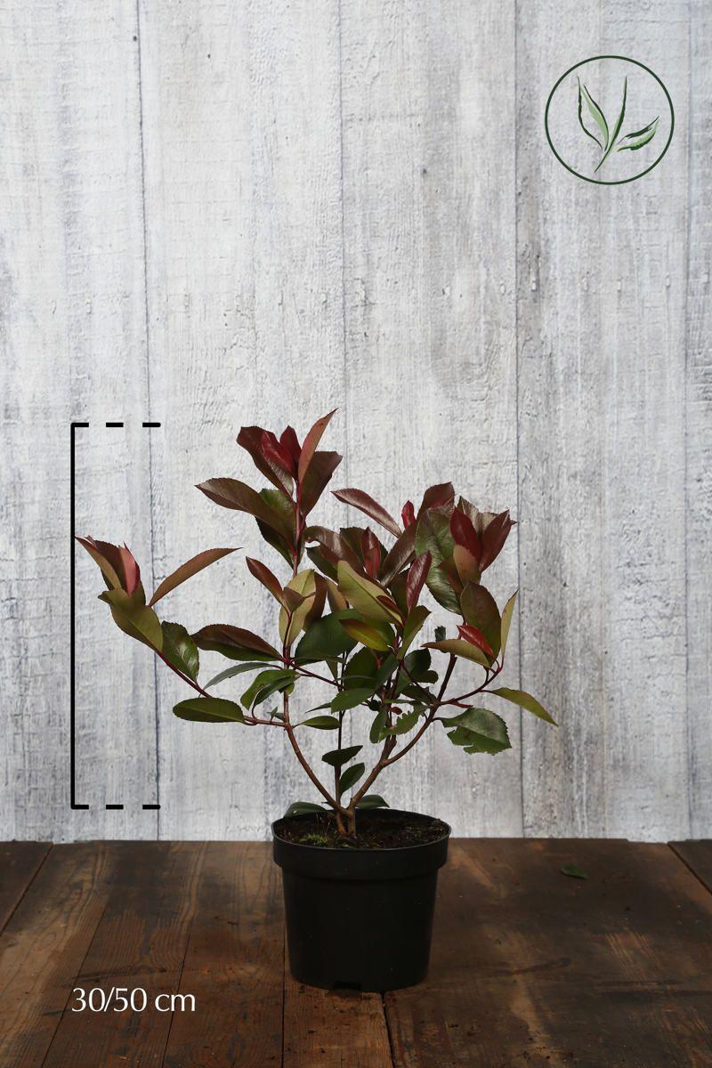 Photinia 'Red Robin'  Conteneur 30-50 cm