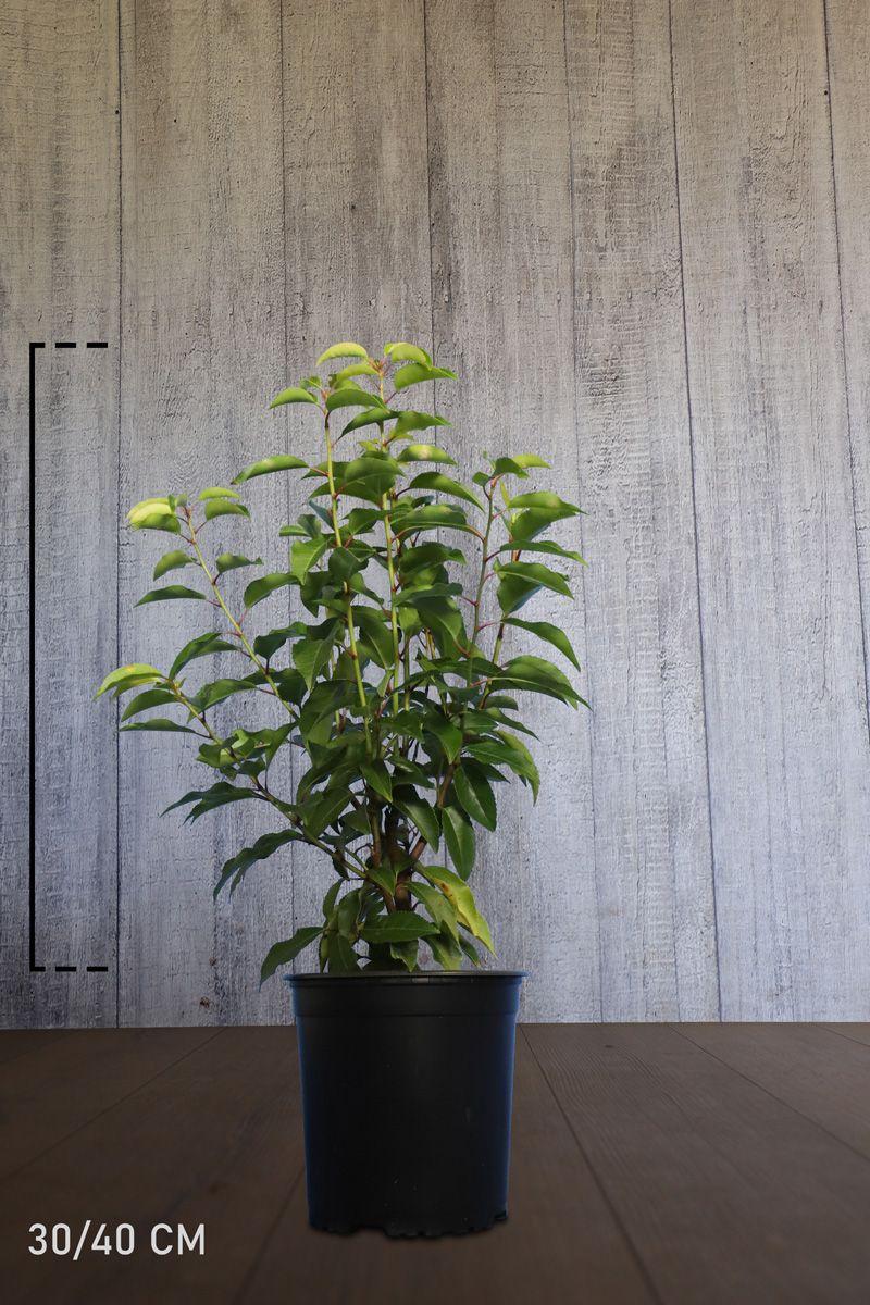 Laurier du Portugal 'Angustifolia'  Conteneur 30-40 cm
