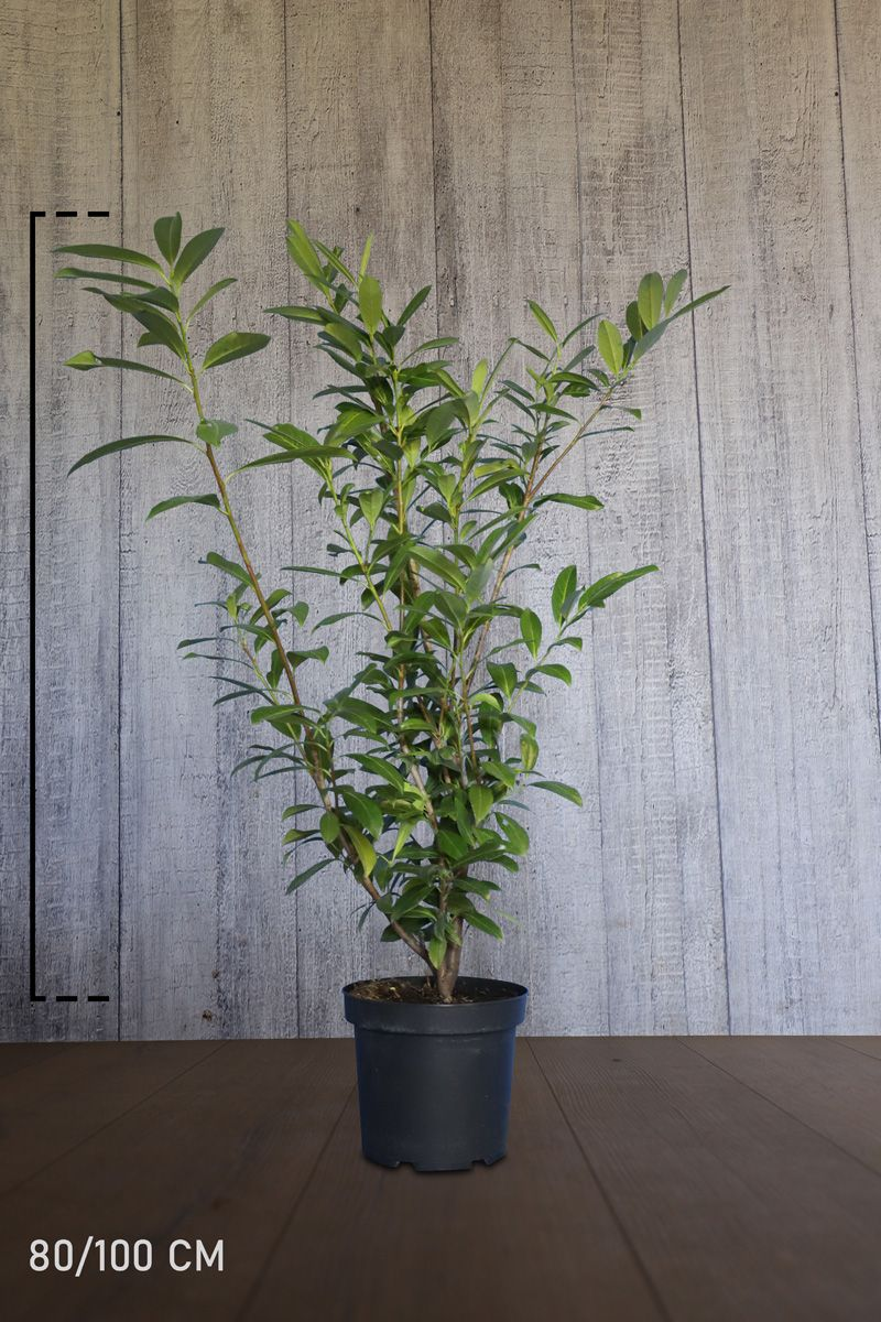 Laurier palme 'Caucasica' Conteneur 80-100 cm