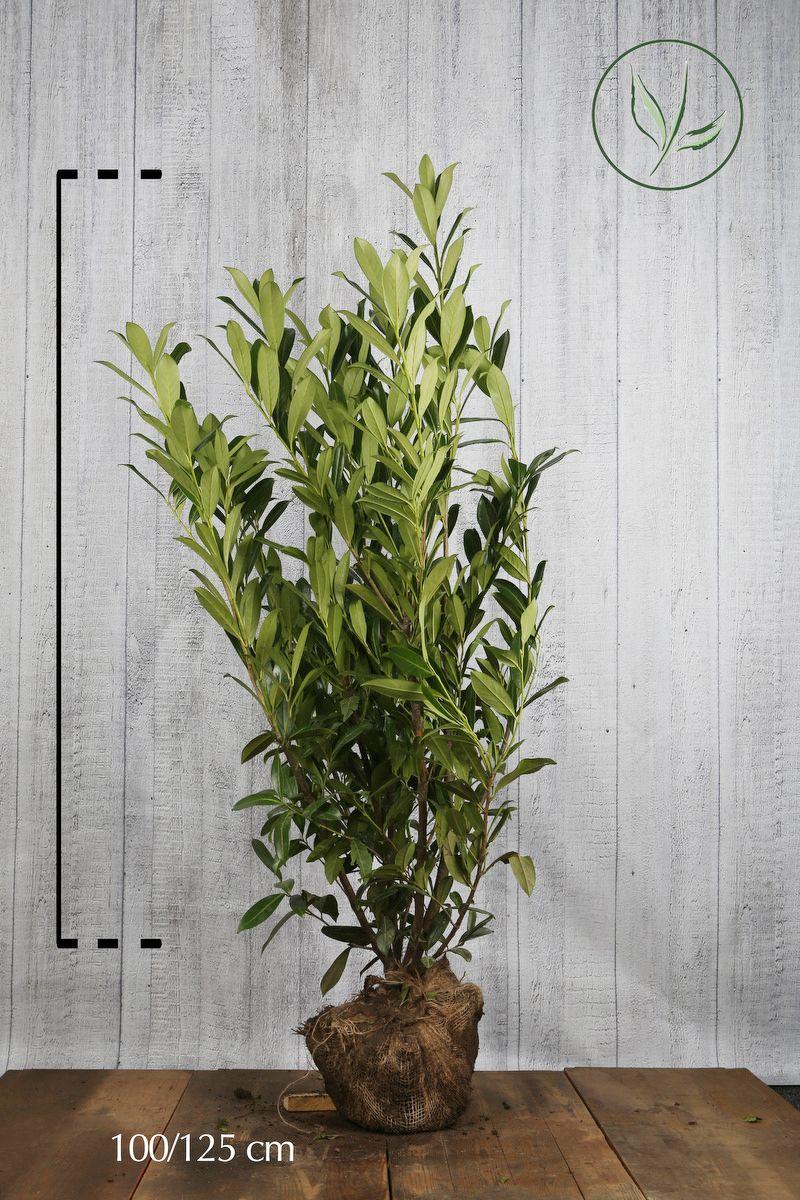 Laurier palme 'Caucasica' En motte 100-125 cm