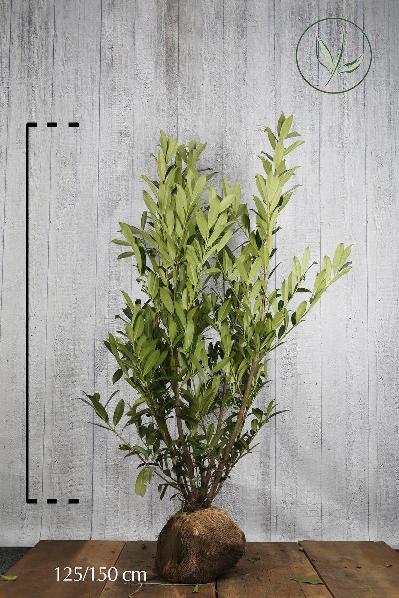 Laurier palme 'Caucasica' En motte 125-150 cm