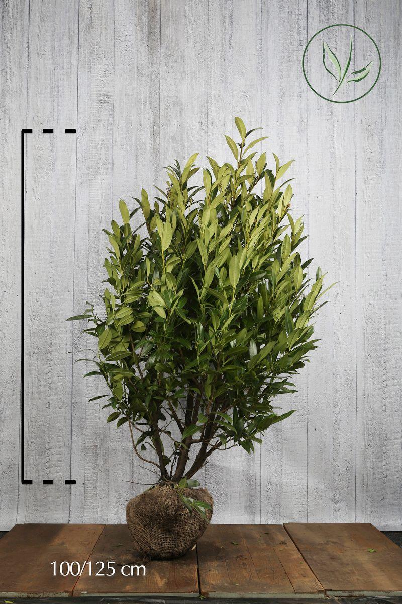 Laurier palme 'Herbergii'  En motte 100-125 cm Qualité extra