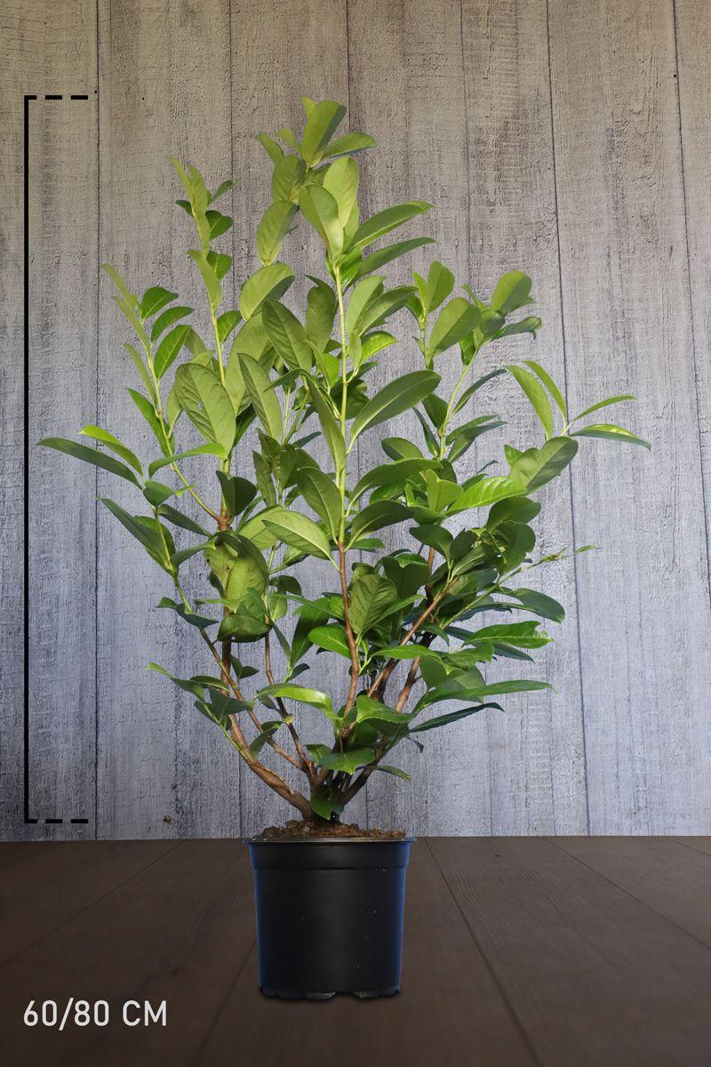 Laurier cerise 'Rotundifolia' Conteneur 60-80 cm