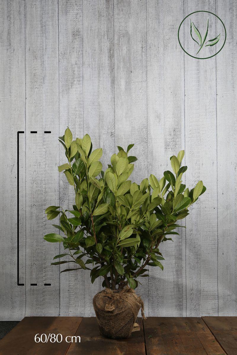 Laurier cerise 'Rotundifolia' En motte 60-80 cm